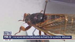 17-year cicada swarm to begin in Illinois, Indiana in a couple of weeks