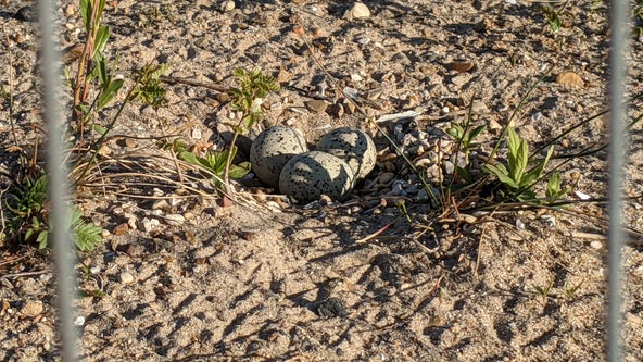 Piping plover eggs found at Montrose Beach dunes