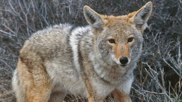 Woman, dog attacked by coyote protecting pups: Bolingbrook police