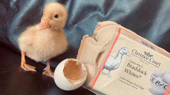 Duck hatches from free-range egg woman bought from grocery store