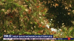 Efforts underway to save monarch butterfly population