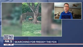 Suburban Chicago residents searching for fox with pipe stuck around its neck