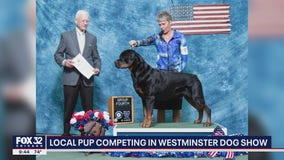New Lenox pup competing in Westminster Dog Show