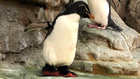 Elderly zoo penguin with arthritis gets shoes to provide relief