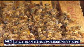 Save the bees! DePaul grad giving away pollinator plants to help Rusty Patch Bumble Bee population