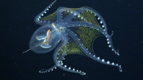'Glass octopus' sighted by marine scientists in Pacific Ocean
