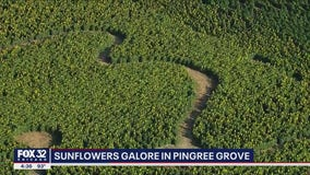 Sunflowers galore in Pingree Grove