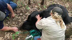 Bear that traveled through several Midwest states dies in Louisiana