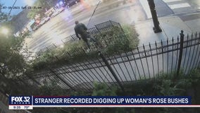 Surveillance video shows man digging up woman's plants in Lakeview