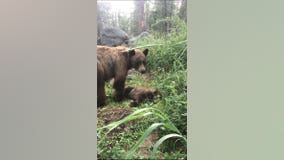 Yosemite ranger gives heartbreaking account of mother bear calling for cub killed by driver