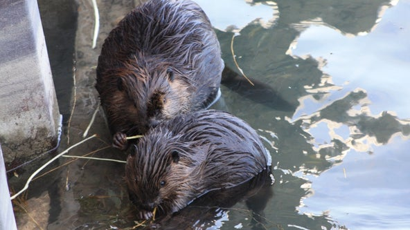 Mystery surrounds deaths of 3 beavers on Northwestern University campus