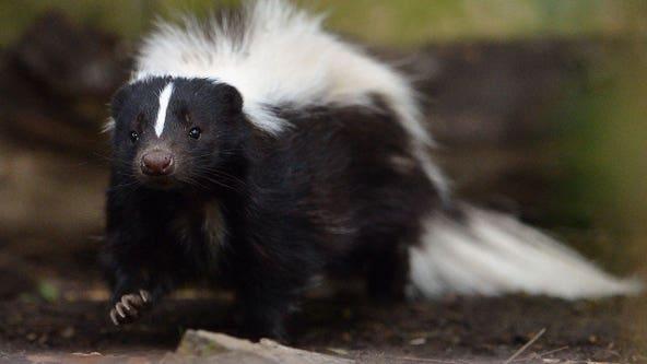 NY man trying to kill skunk is fatally shot with arrow