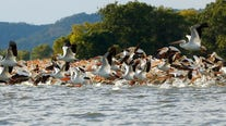 American white pelicans, once rare in Illinois, are now filling the skies above the Chicago area