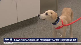 PAWS Chicago rescues 40 animals displaced by Hurricane Ida, seeks fosters