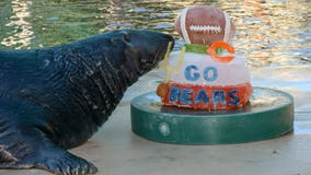 Animals at Brookfield Zoo cheer on Chicago Bears