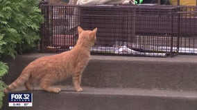 Worried about feral cats in your neighborhood? Chicago group helps trap, neuter and return them