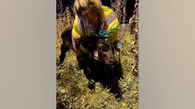 Calves fall out of trailer onto I-290, cause traffic delays