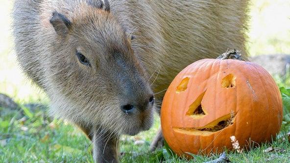 Pumpkins! Brookfield Zoo animals given Halloween treats