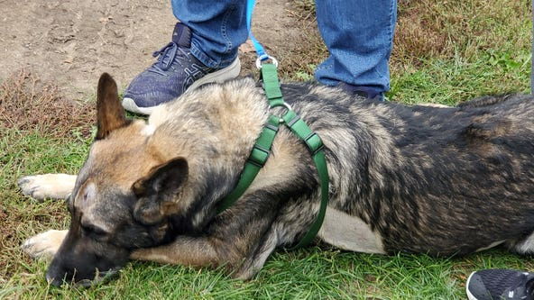 Police K9 who was shot in the head by a murder suspect is home from the veterinary hospital