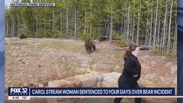 Carol Stream woman to spend 4 days in jail for getting to close to grizzly bear, cubs at Yellowstone