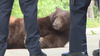 Black bears on the move in Florida, feeding heavy to put on weight