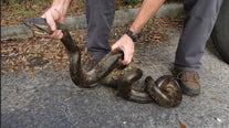 Judge refuses to block anaconda rule