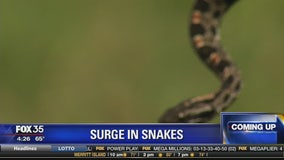 Surge in snakes