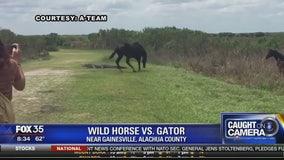 Wild horse versus gator in Alachua County