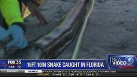 16 foot 10 inch snake caught in Florida