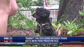 "Orlando resident takes in pawless poodle named ""Rabbit"""
