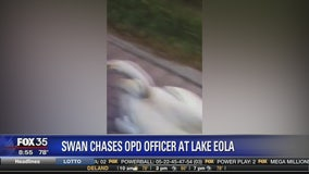 Swan chases OPD officer at Lake Eola