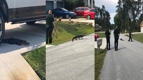 Gator visits Palm Coast neighborhood