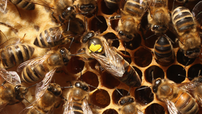Bees have been declared the most important living things on earth