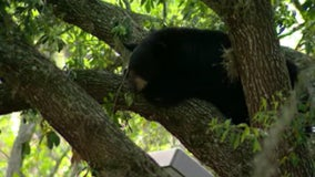 Florida governor stiffens penalties against bear poaching