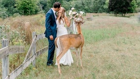 Deer photo-bombs wedding pictures, eats bride's bouquet