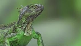 PETA asks Florida for iguana killing intel, gets $75k bill