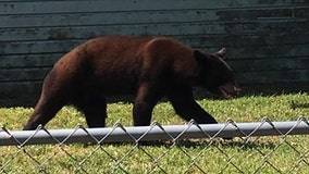 Bear sightings reported in The Villages, Wildwood