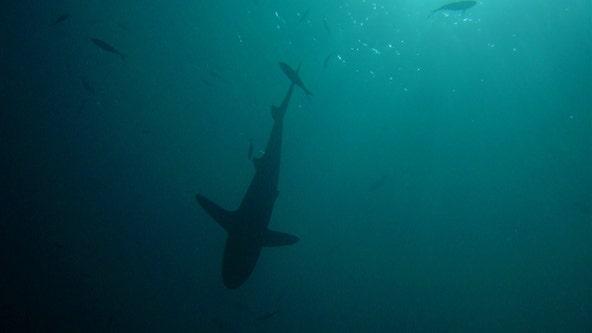 Florida lawmaker takes aim at shark fin sales