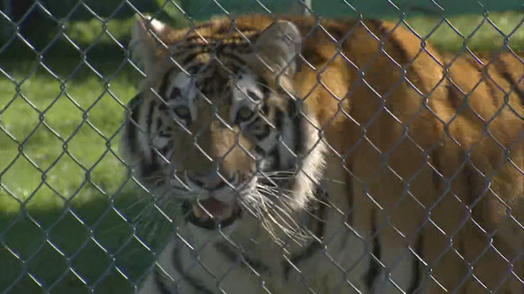 Siberian tiger kills Swiss zookeeper in enclosure as visitors watch