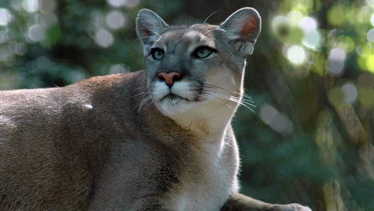 Florida panther (file)-401385