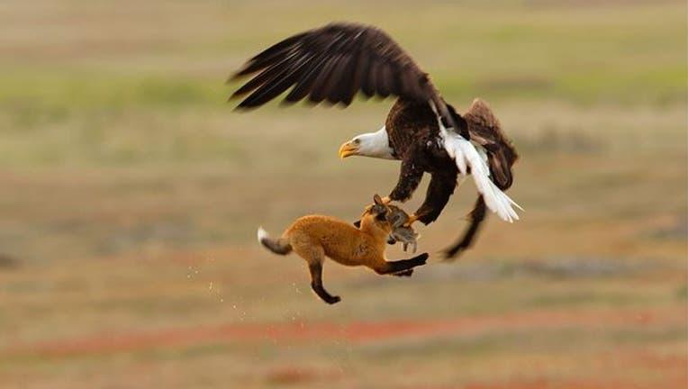 8c2f0717-Audubon-Kevin-Ebi-Bald-Eagle_1564866043381.jpg