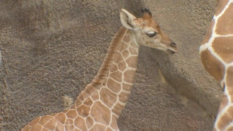 97def1a3-Baby Giraffe Philly Zoo Philly-401096