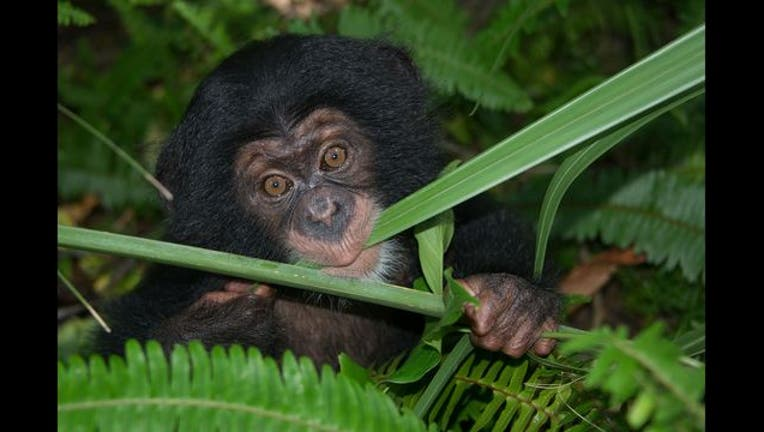 b7f1798b-Chimp #3_1441215409815-401385.jpg