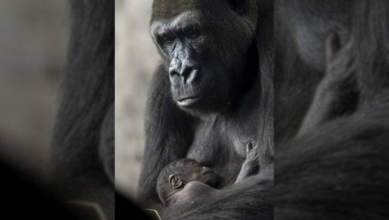 8bb20dfe-DISNEY PARKS BLOG_grace baby lowland gorilla_050219_1556804665807.png.jpg