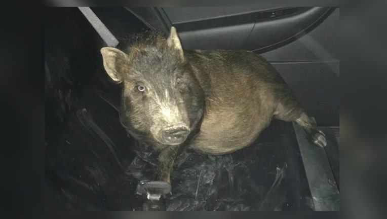 0eb6d4b3-Police think man who called about pig was drunk, but he was not-404023