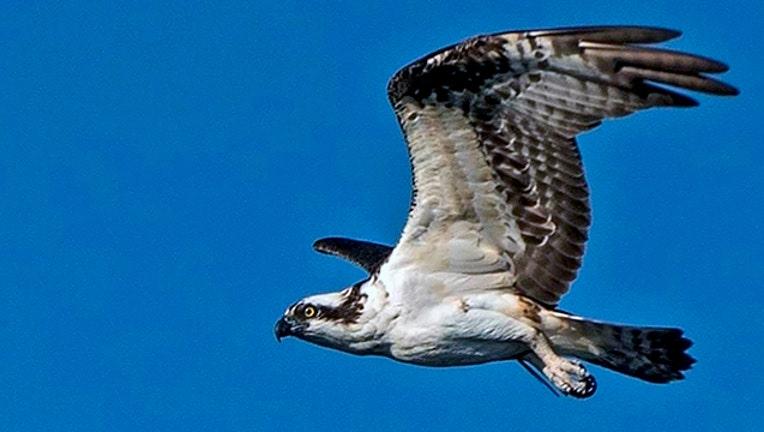 b8f15dde-FWC-osprey_1547597253259.jpg
