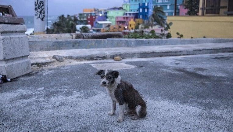 0bc02722-GETTY Dog Puerto Rico-401096