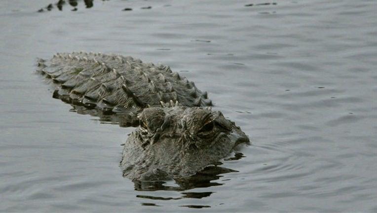 GETTY alligator_1503696928902-407693.jpg