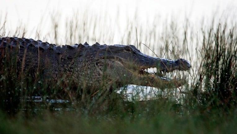 27c779a7-GETTY alligator_1530545847551.png.jpg