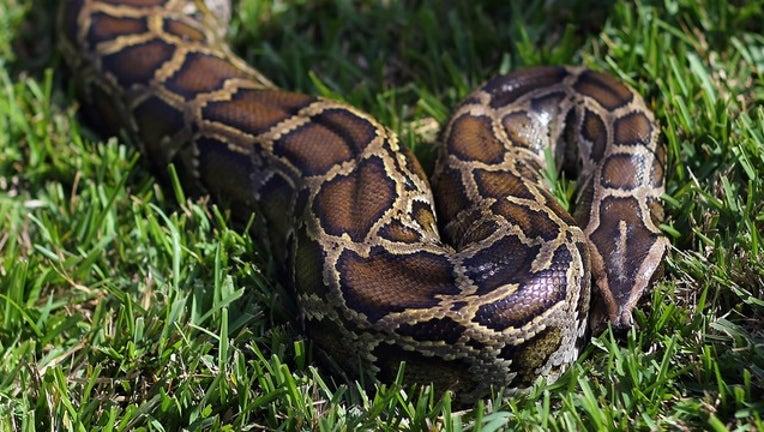 f693c931-GETTY python_1529248309585.png.jpg